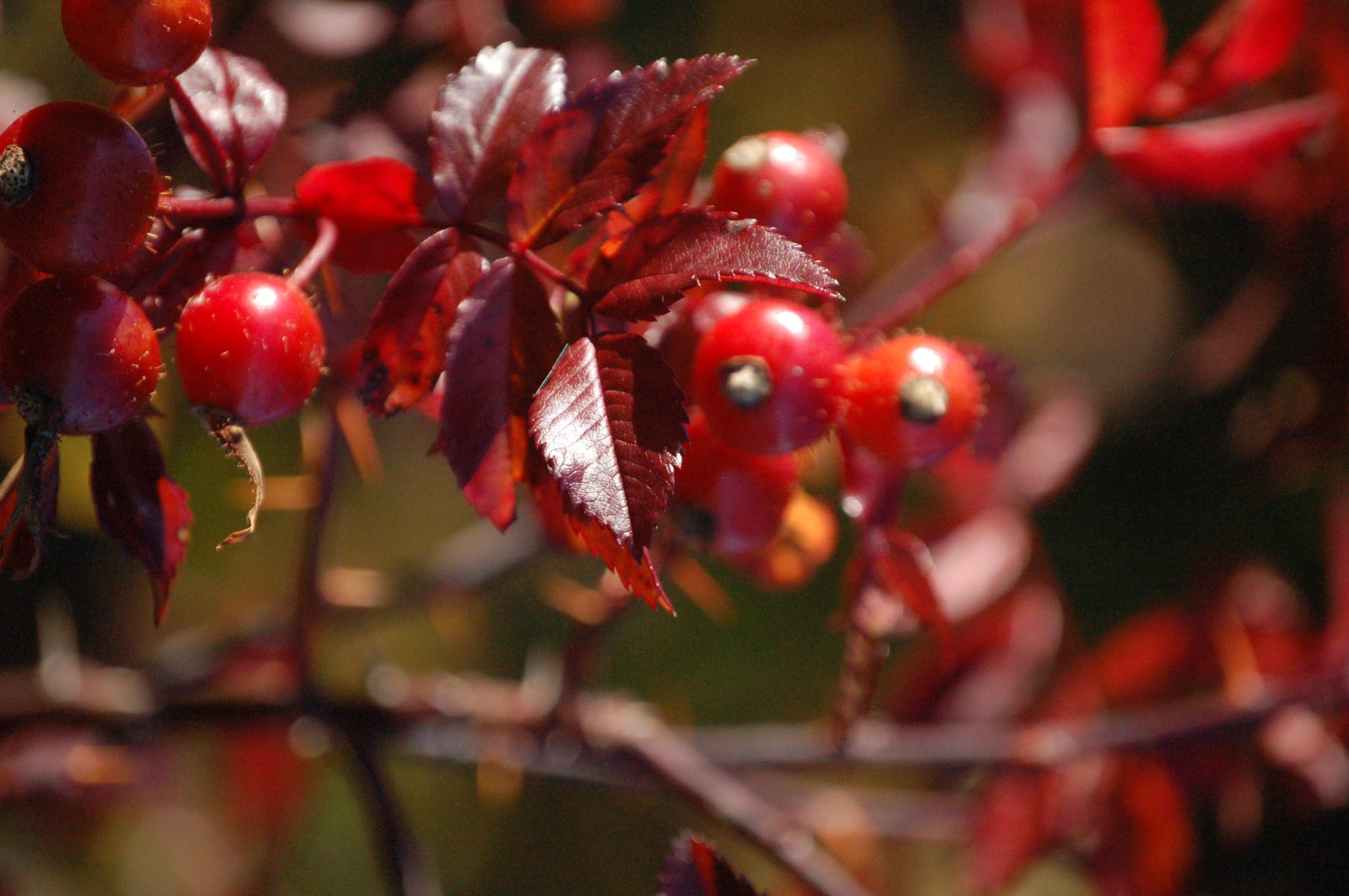 Postcards from Maine: Brooklin Rosehips