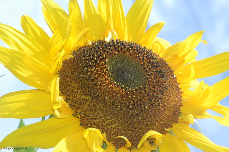 Postcards from Maine: Sunflower