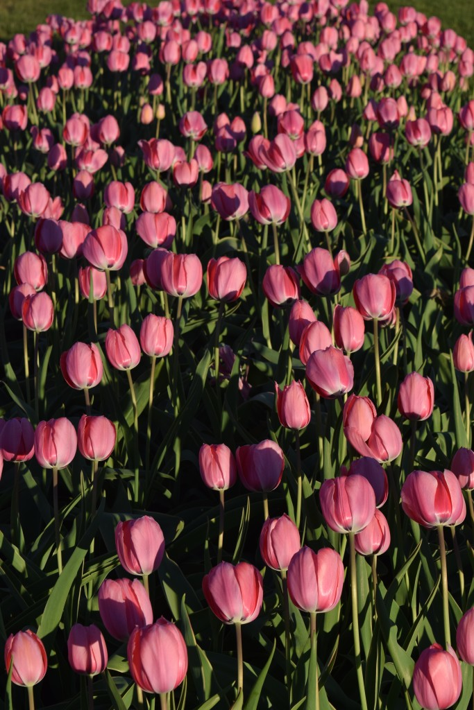 There's a few plots of pink tulips near my office that brighten every spring.