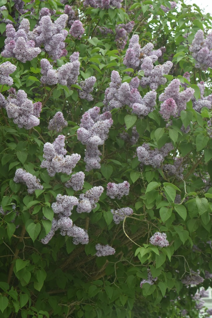If I had to choose to be surrounded by just one type of flower for the rest of my life, I would for sure choose lilacs. I adore the fragrance of lilacs and their delicate petals. Lilac season is far too short in Maine. Lilacs also come in white, pink and a darker purple but this lighter (lilac hue) is what grows in my yard.