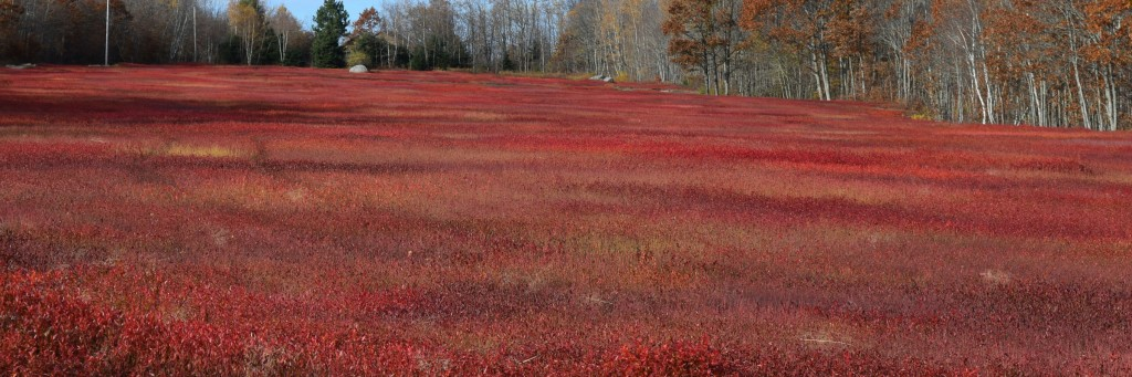 Blueberry Field in Fall