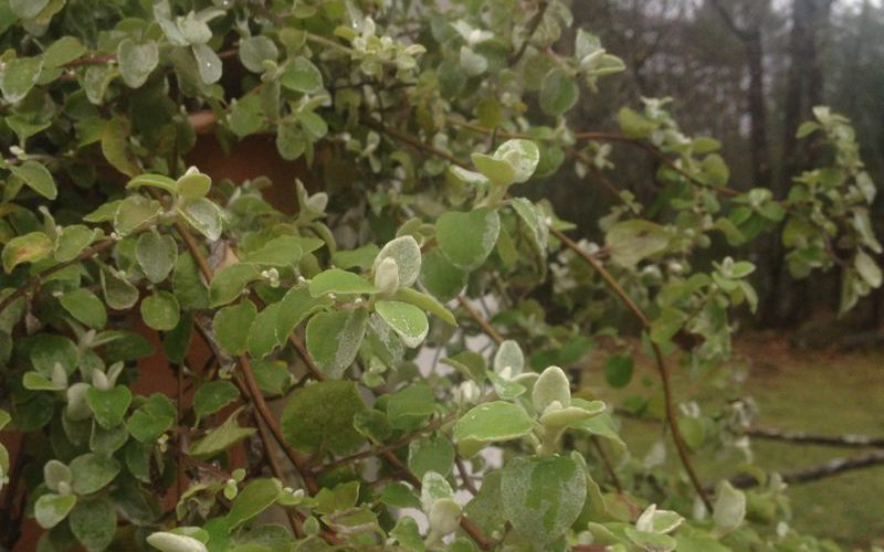 Foliage Filler: 3 Reasons to Grow Licorice + a Free Printable